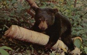 Postcard Bear Cub Having Fun Birch Tree Kalkaska Michigan Unposted Chrome 79