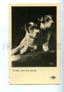 139658 FOX TERRIER Puppy Vintage Photo PC