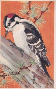 1900-1910's; Downy Woodpecker, National Wildlife Federation, Wildbird Postcar...