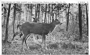 Two Bucks on the Alert, Pickerel Inn Porters Lake, Pike Co, Pennsylvania, USA...
