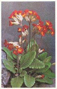 Vintage Primrose Postcard Printed in Belgium