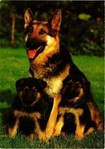 CPM German Sheperd dog, CHIEN (716831)