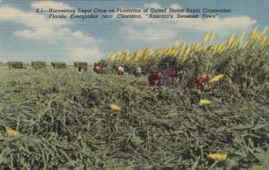 Florida Clewiston Harvesting Sugar Cane In The Everglades Curteich sk1487a