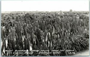 1940s Rio Grande Valley Texas RPPC Photo Postcard Night Blooming Cereus Cactus
