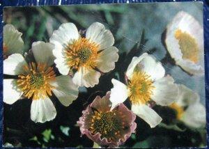 Norway Glacier Crowfoot Flower - posted 1971