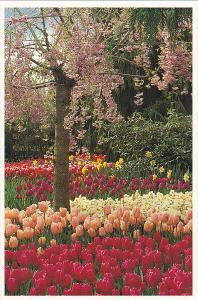 Tulips At Roozengaarde Division Of Washington Bulb Company Mount Vernon Washi...