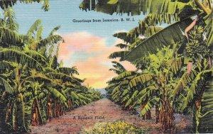 P1965 vintage postcard greetings from jamaica B.W.I. banana field unused