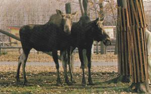 Moose at zoo , GRANBY , Quebec , Canada , 40-60s