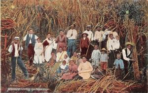Portugal Madeira - Cutting the Sugar Cane, Native Traditional People