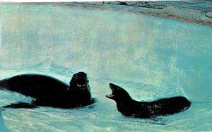 Seal Lion  1960s Chrome
