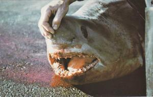 Porbeagle Shark - Sealife