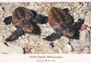 Airlie Beach Whitsundays Australia Loggerhead Turtle Postcard