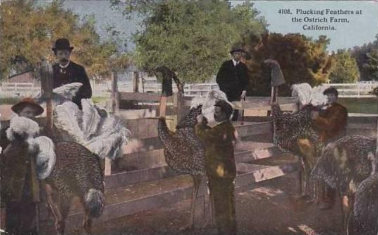 California Pasadena Cawsons Ostrich Farm Plucking Feathers 1919