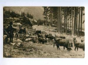 178188 RUSSIA Grazing cows mountain pine photographic PC