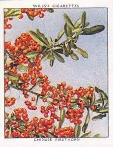 Wills Vintage Cigarette Card Flowering Shrubs 1934 No 9 Chinese Firethorn