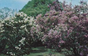 Highland Park NY, Rochester, New York - Lilac Bushes of Many Colors