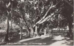 ST PETERSBURG FL - GIANT BANYAN TREE / REAL PHOTO / 1950s era / black & white