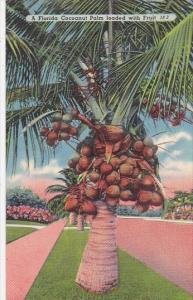 A Florida Coconut Palm Loaded With Fruit Royal Palm Florida