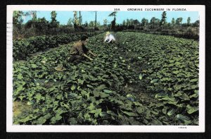 FL - Growing Cucumbers in Florida - 1930