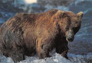 Fauna Wild Animals: Grizzly Bear, Ours Grizzli der Grizzly Baer