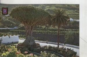 Postal: Tenerife-Icod de los Vi?s-Drago Milenario