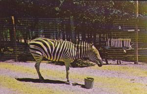 Zebra Gobblers Knob Zoo Farm Bloomingdale Indiana