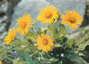 Flowers yellow doronic a grandes fleurs Postcard