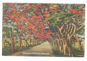 Red Flamboyan trees lining inland road forming tunnel, Puerto Rico, 30-40s
