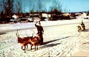 Alaska Fairbanks Reindeer Team and Sled At Chena