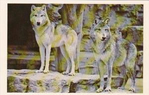 Missouri St Louis Wolves At St Louis Zoo