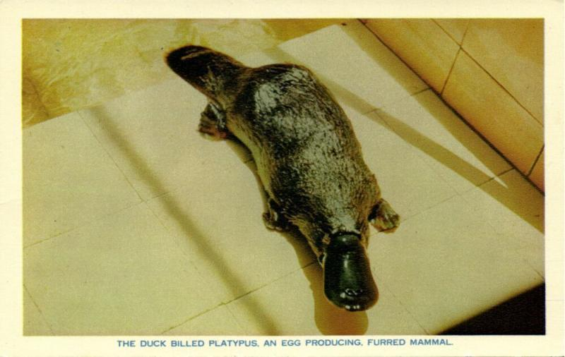australia, The Duck Billed Platypus, An Egg producing, Furred Mammal (1960s)
