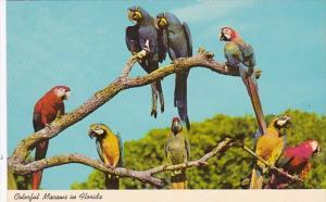 Florida Miami Colorful Macaws At Parrot Jungle