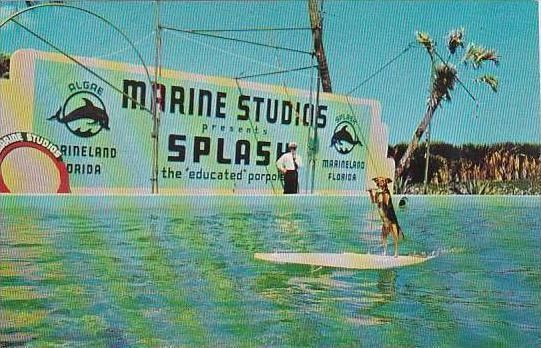 Florida Saint Augustine Fif Rides The Surfboard Pulled By Splash The Porpoise...