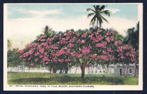 Royal Poinciana Tree in Full Bloom Florida unused c1920's