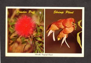 Fl Florida Flowers Powder Puff Shrimp Plant Sarasota Jungle Gardens Postcard