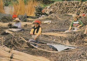 Madeira Funchal Choosing Osier Twigs Funchal Crafts Postcard