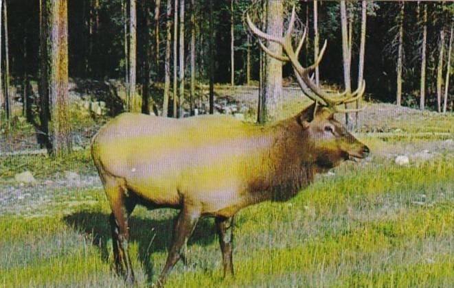 Canada Male Wapiti Elk Canadian Rockies