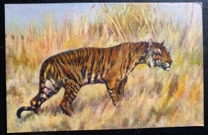 Mint Switzerland Color Picture Postcard PPC Tiger Hunting