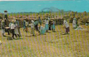 Philippines Thrshing Palay or Rice Harvest Scene