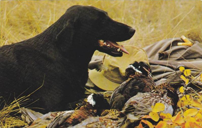 Black Lab, Man's Best Friend With Bag of Chinese Ringed-Neck Pheasants, Canad...