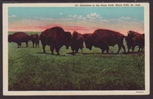 Buffaloes in the State Park,Black Hills,SD Postcard
