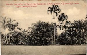 SINGAPORE PC Phoenix dactylifera Actinorrhytis Calapparia, Licula spinosa (a1495