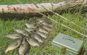 Minnesota Deer River Fishing Day's Catch Of Crappies 1973