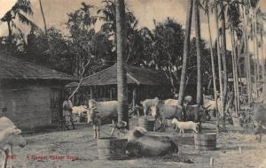 India A Bengal Village Scene Cows Postcard