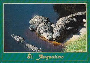 Alligators At The Alligator Farm St Augustine Florida