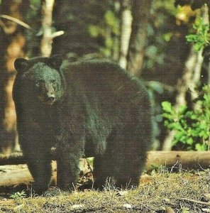 Wildlife Portraits Black Bear Alan Carey Printed in Germany Penrod Hiawatha MI