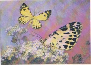 Czech Informational Species Card: Stamnodes danilovi Ersch., Yellow & Black B...