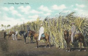 CUBA , 1900-10s; Growing Sugar Cane, Men on Horses