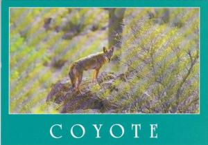 The Coyote Or Prairie Wolf