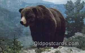 Colorado Grizzly Bear Exhibit USA Bear Bears Postcard Post Card Old Vintage A...